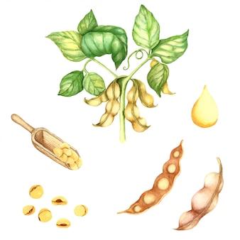 Ilustração em aquarela de planta de feijão de soja