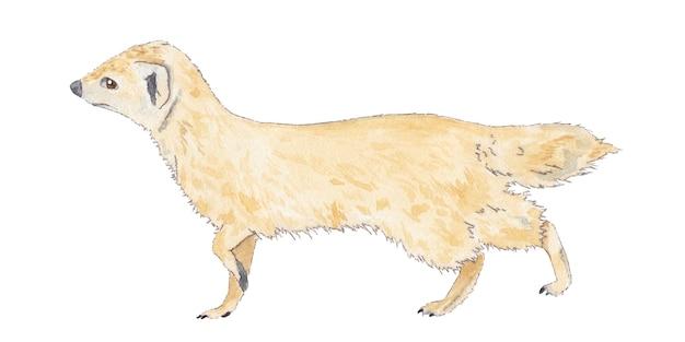 Ilustração em aquarela de suricato