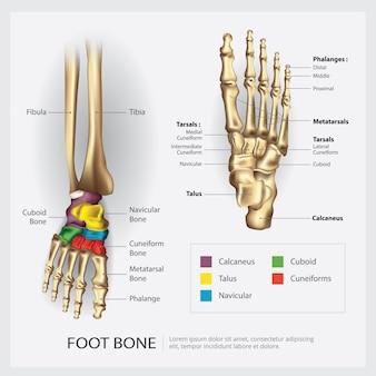 Ilustração em vetor anatomia osso do pé