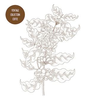 Ilustração em vetor botânica vintage mão desenhada isolada. estilo de desenho.