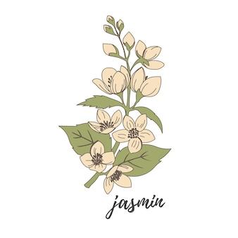 Ilustração em vetor de flores de jasmim