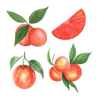 Ilustração em vetor de fruta mandarim em estilo aquarela