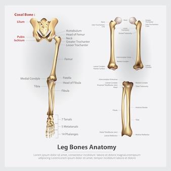 Ilustração em vetor de ossos da perna de anatomia humana