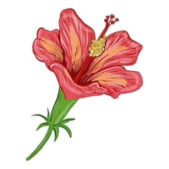 Ilustração em vetor de uma planta de hibisco, flores e folhas de uma planta em um fundo branco e isolado