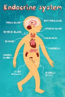Ilustração em vetor dos desenhos animados do sistema endócrino para crianças