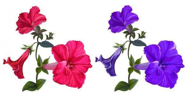 Ilustração em vetor flor com petúnia rosa e roxa em branco