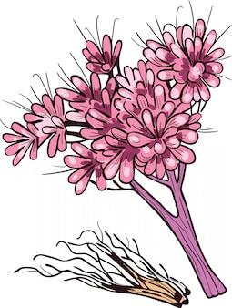 Ilustração em vetor raiz cascalho isolada no branco. eutrochium purpureum, erva daninha joe-pye roxa