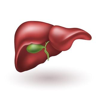Ilustração em vetor realista fígado humano