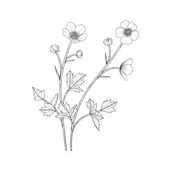 Ilustração floral desenhada à mão do botão de ouro