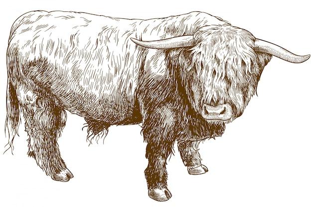 Ilustração gravada de gado das terras altas