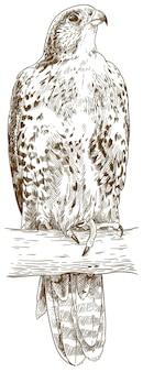 Ilustração gravada do falcão-saker