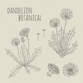 Ilustração isolada botânica médica do dente-de-leão. planta, flores, folhas, sementes, raiz mão desenhado conjunto. esboço de contorno vintage.