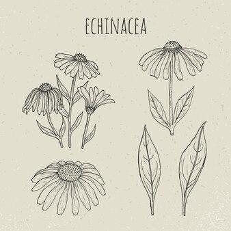 Ilustração isolada botânica médica do echinacea. planta, flores, folhas conjunto mão desenhada. esboço de contorno vintage.