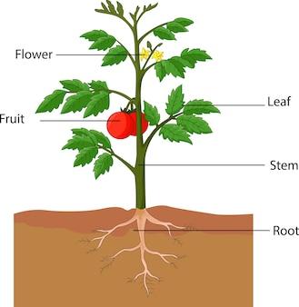 Ilustração mostrando as partes de uma planta de tomate
