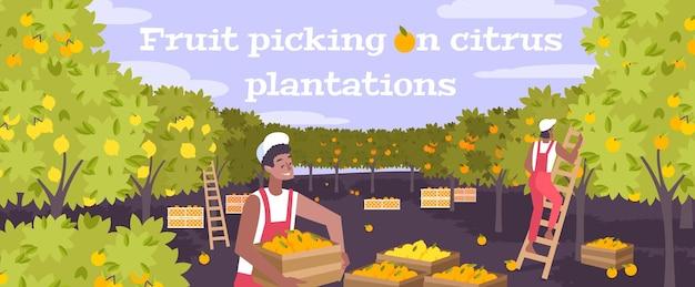 Ilustração plana de colheita de frutas em plantação de frutas cítricas com dois jovens trabalhando com o uso de escadas