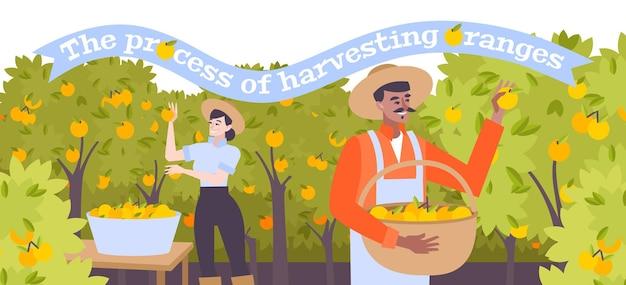 Ilustração plana de colheita de laranjas com personagens masculinos e femininos em chapéus coletando frutas cítricas