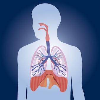 Ilustração pulmões fisiologia