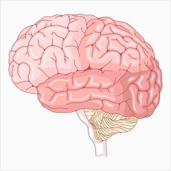 Ilustração vetorial de um cérebro