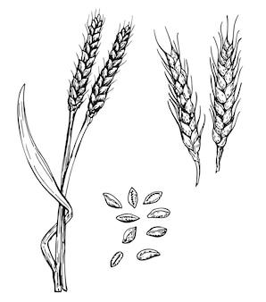 Ilustração vetorial desenhada à mão para orelhas de trigo grãos e espigas de trigo gravura de ingredientes alimentares