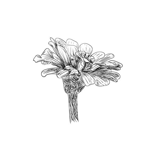 Ilustração vetorial, esboço de flor de zínia isolado em cores preto e branco, esboço de desenho original pintado à mão