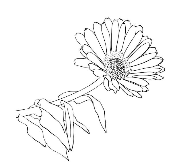 Ilustração vetorial, flor de calêndula isolada com folhas em cores preto e branco, esboço de desenho pintado à mão