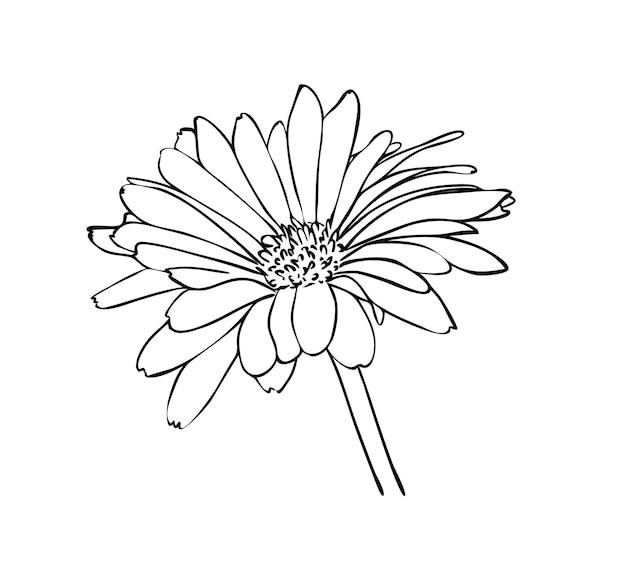 Ilustração vetorial, flor de calêndula isolada em cores preto e branco, contorno de desenho pintado à mão