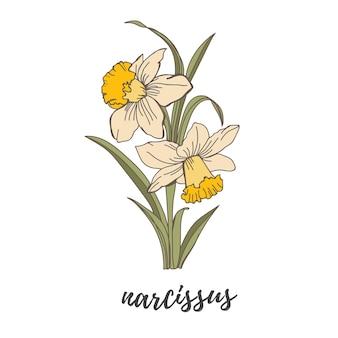 Ilustração vetorial flor narciso contorno de flor