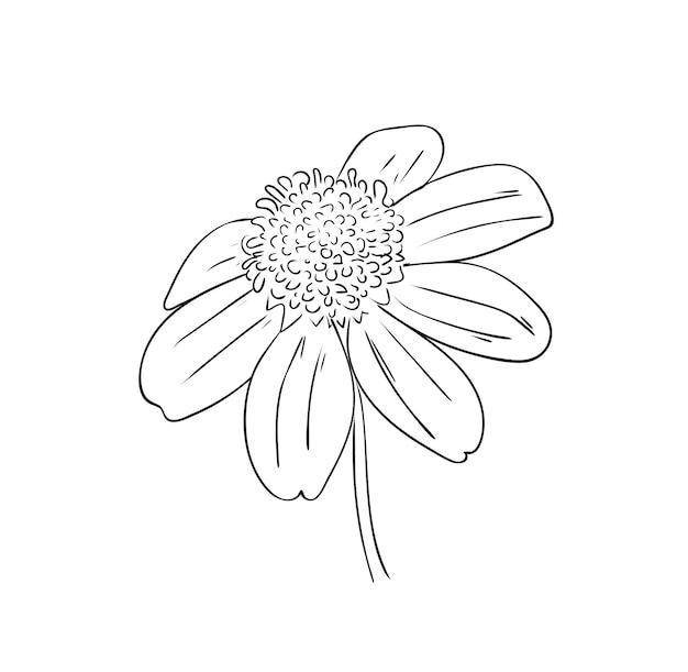 Ilustração vetorial, flor rudbeckia perene isolada em cores preto e branco, desenho original pintado à mão