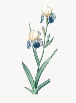 Ilustração vintage da elder scented iris