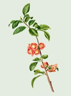 Ilustração vintage da flor de cerejeira japonesa