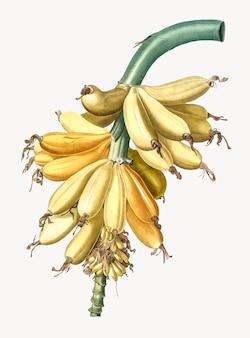 Ilustração vintage de banana