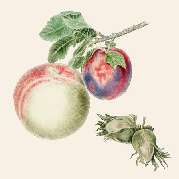 Ilustração vintage de pêssego e ameixa