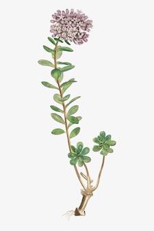 Ilustração vintage sedum anacampseros (loce restorer)