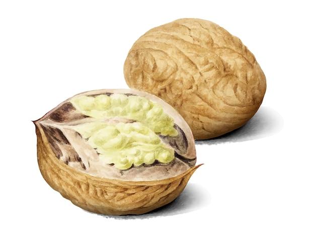 Ilustração vintage walnut
