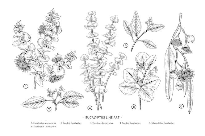 Ilustrações botânicas desenhadas à mão com ramos de eucalipto