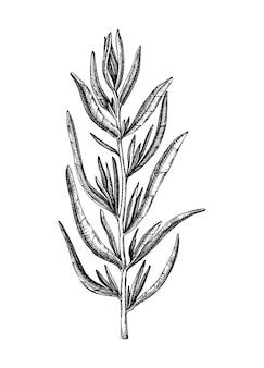 ilustrações botânicas do estragão francês esboçadas à mão