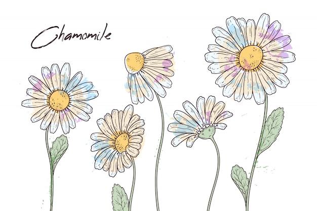 Ilustrações de botânica floral. esboços de flores de camomila.