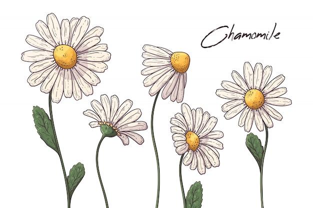 Ilustrações de botânica floral. flores de camomila.
