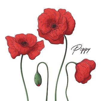 Ilustrações de botânica floral. flores de papoula.