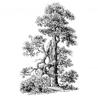 Ilustrações de carvalho árvore Vintage
