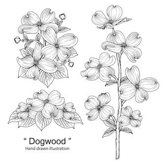 Ilustrações de desenhos de flores de dogwood