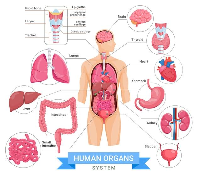 Ilustrações de sistemas de órgãos humanos
