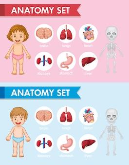 Ilustrações médicas científicas das peças de antomia humana