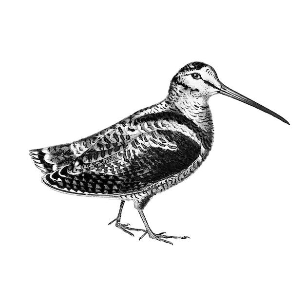 Ilustrações vintage da galinhola da eurásia