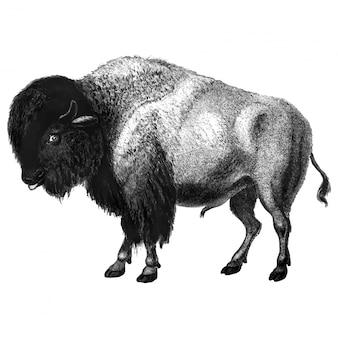 Ilustrações vintage de bisonte
