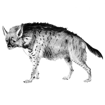 Ilustrações vintage de hiena listrada
