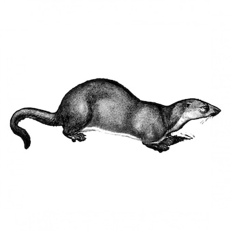 Ilustrações vintage de lontra europeia