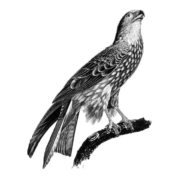 Ilustrações vintage de papagaio preto