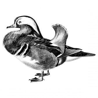 Ilustrações vintage de pato mandarim