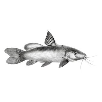 Ilustrações vintage de peixe-gato manchado preto